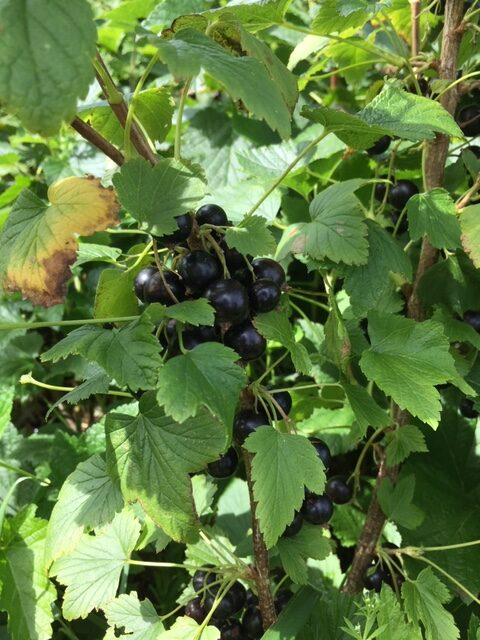 Blackcurrant 'Pick Your Own' Day